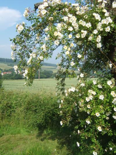 Ramblerrose