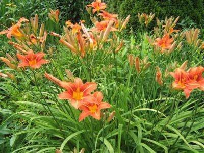 Der botanische Name der Taglilien lautet Hemerocallis