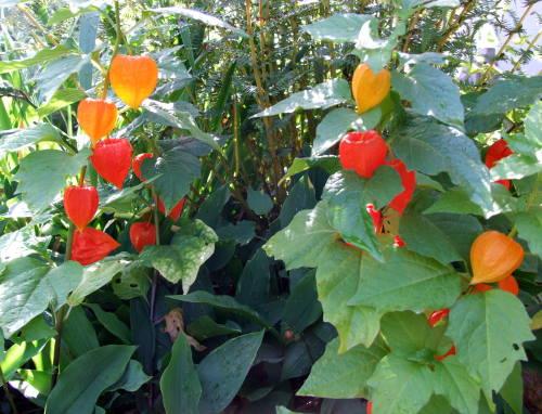 Lampions im Garten