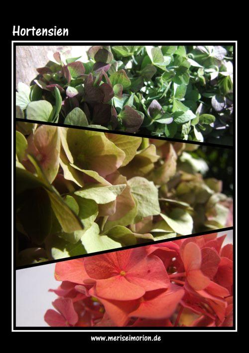 Hortensienfarben