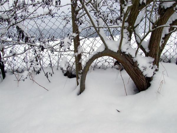 Weiden im Schnee