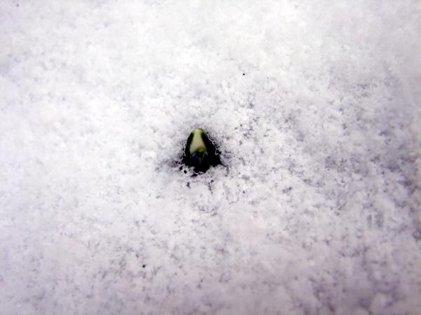 erste Schneegloeckchen