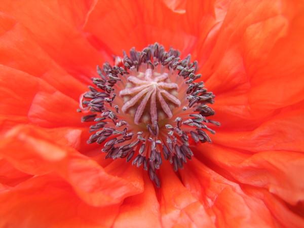 Roter Mohn im Garten