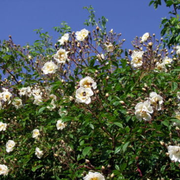 Lykkefund Rose