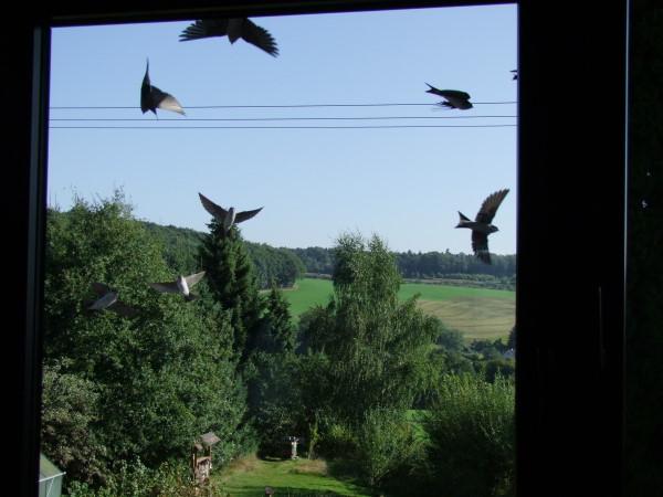 Mehlschwalben vorm Fenster