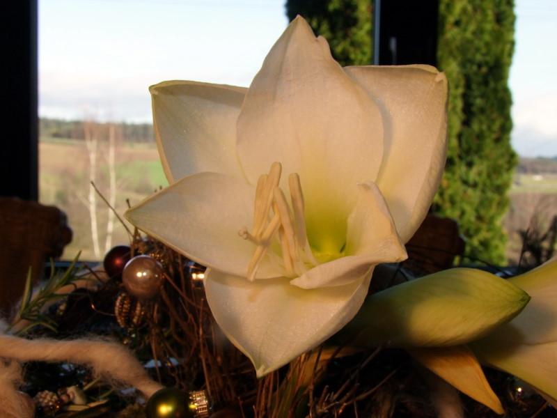 Weiße Amaryllis Weihnachtsdeko