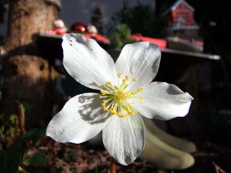Christrose im Garten