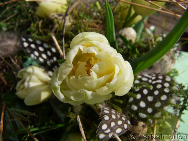 cremefarbene Tulpen