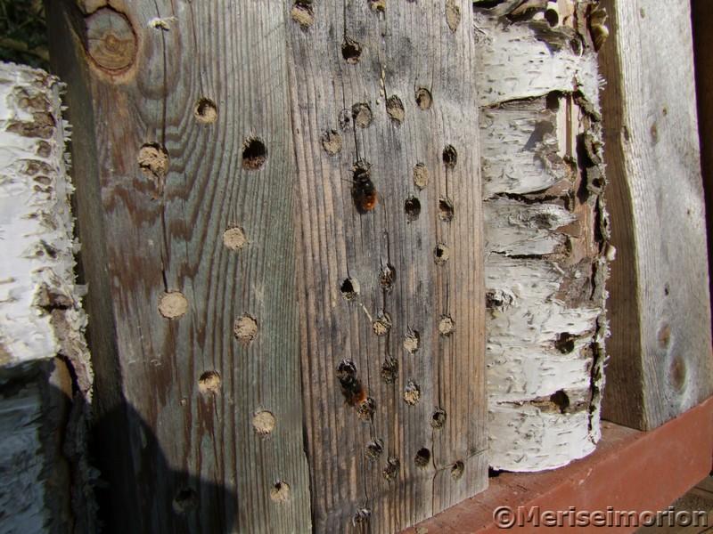 Wildbienen am Insektenhotel