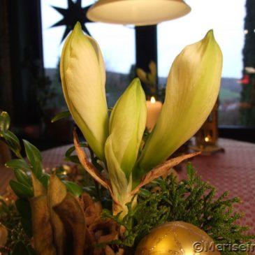 weißen Amaryllis