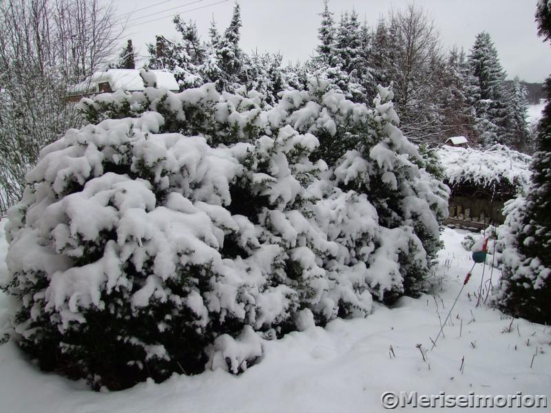 Buchsbaum im Schnee