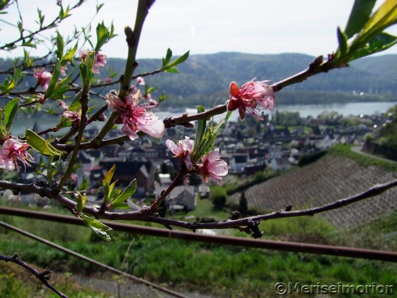 Weinbergpfirsich Blüte