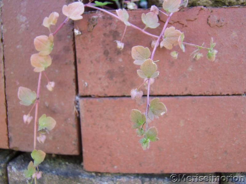 Ranke in der Gartenmauer