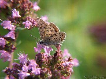 Schmetterling auf Majoran