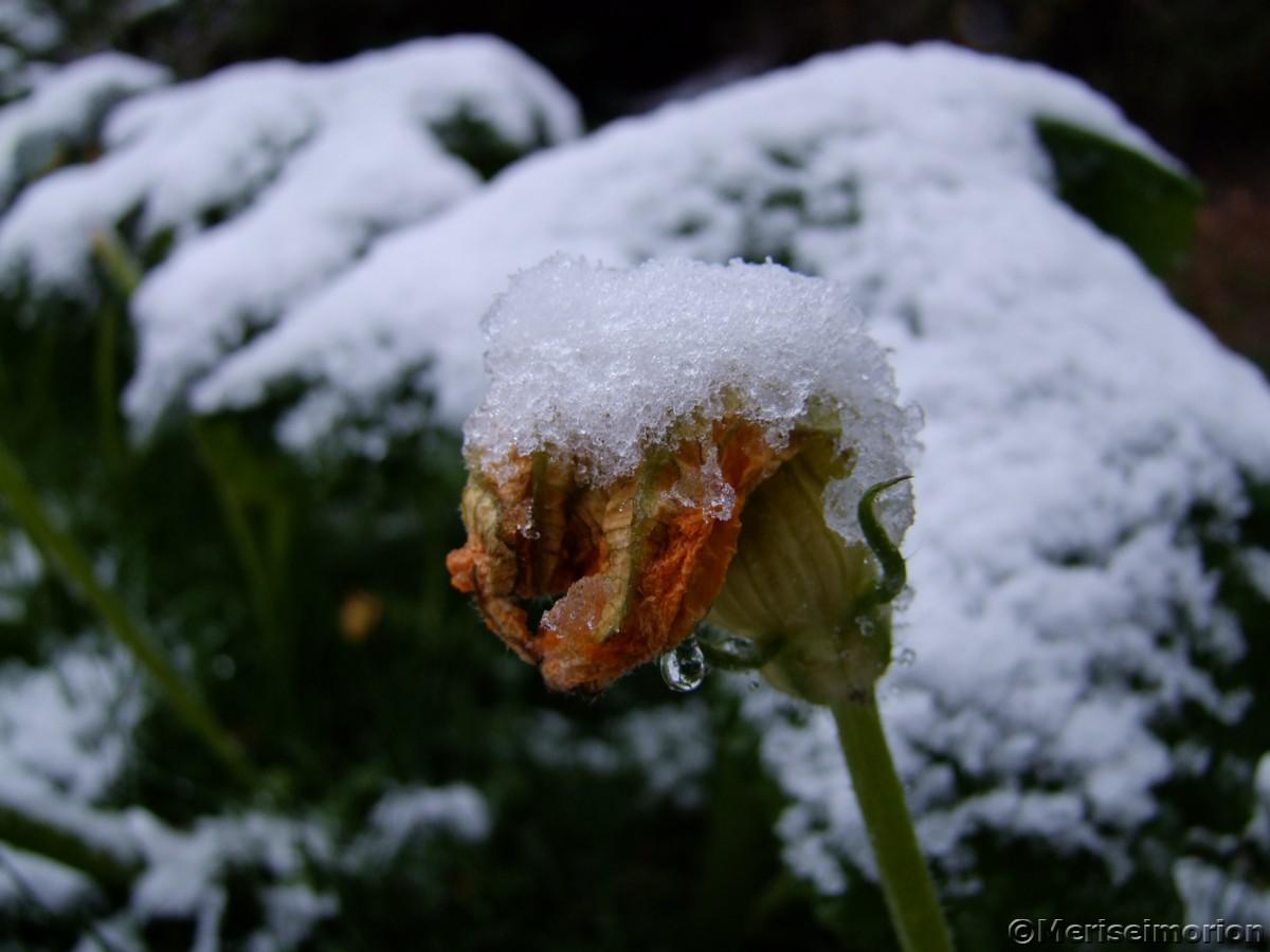 Kürbisblüte im Schnee
