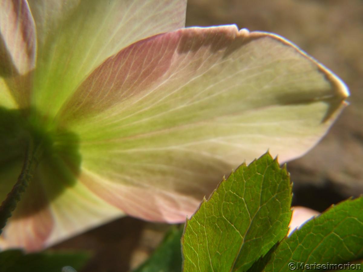 Blütenblatt Christrose