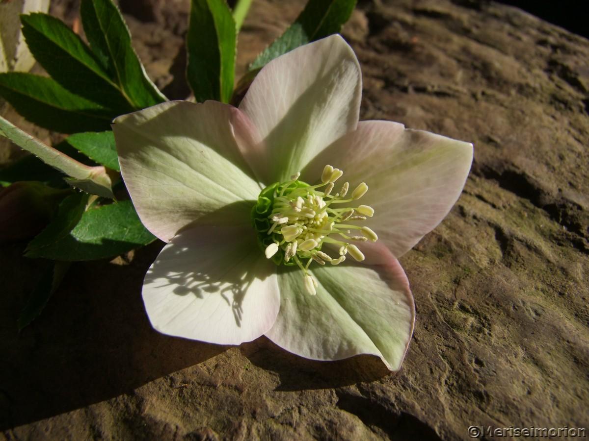 Christrosen Blüte