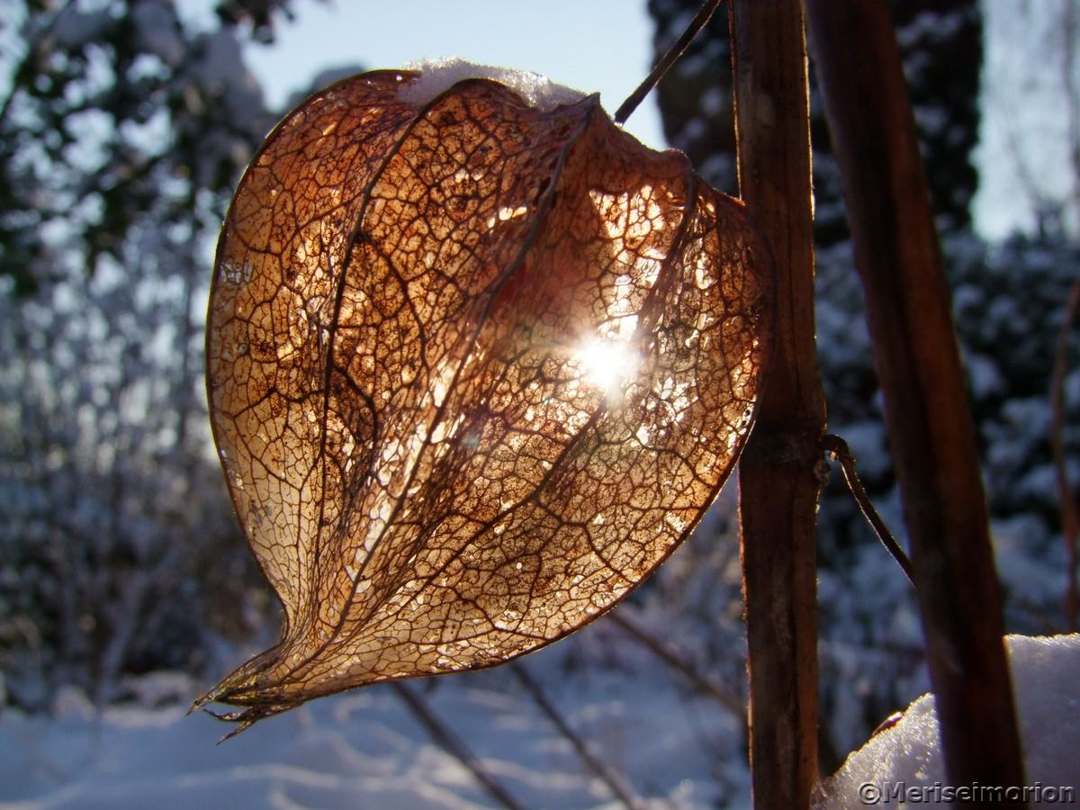 skelletierte lampionblume