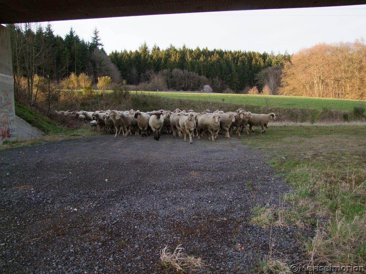 Schafe im Westerwald