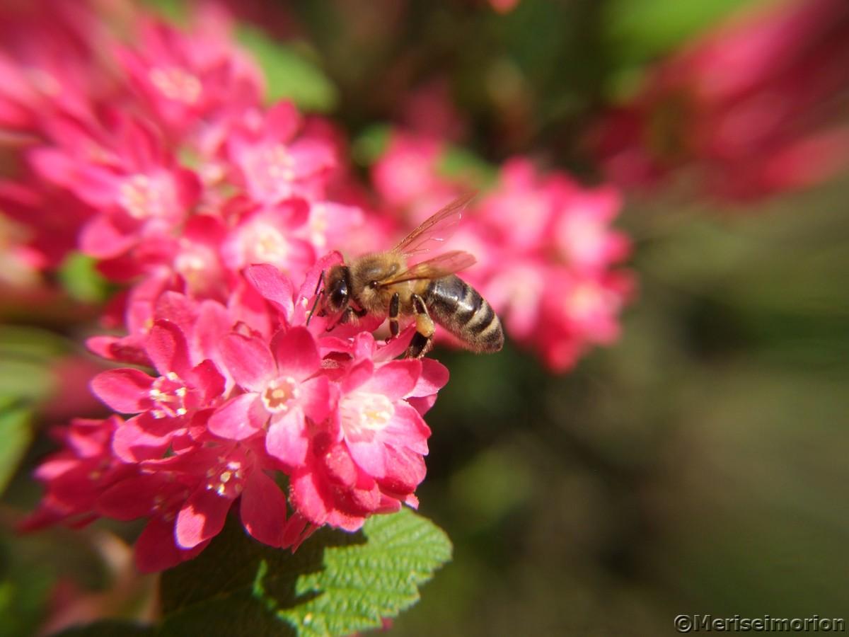 Zierjohannisbeer Blüte