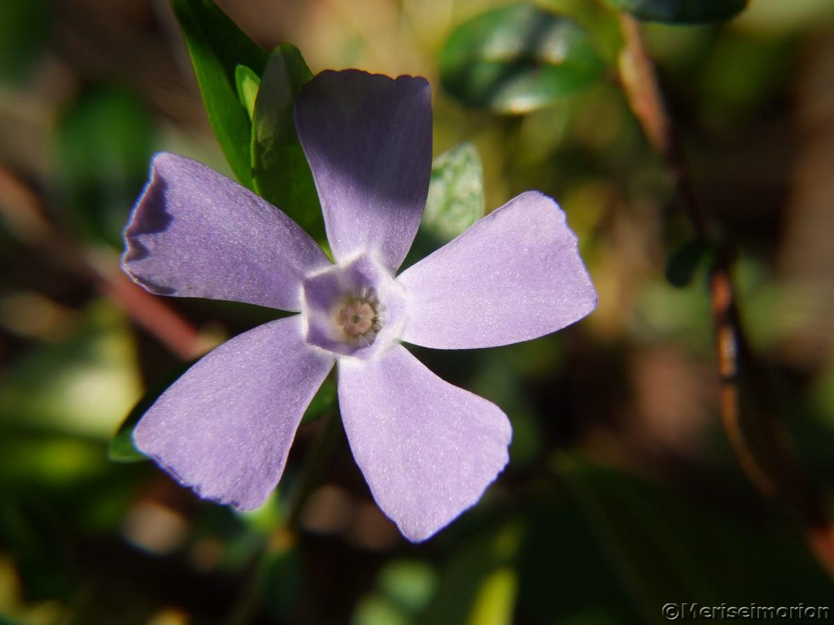blaue Blumen, Immergrün
