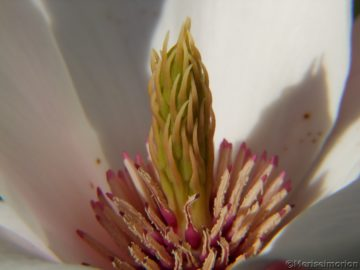 Magnolienbaum Blüte