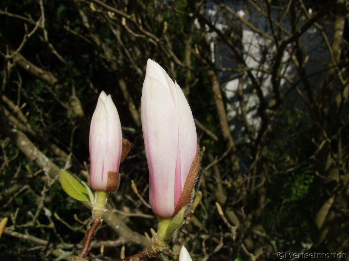 Magnolienbaum Knospen