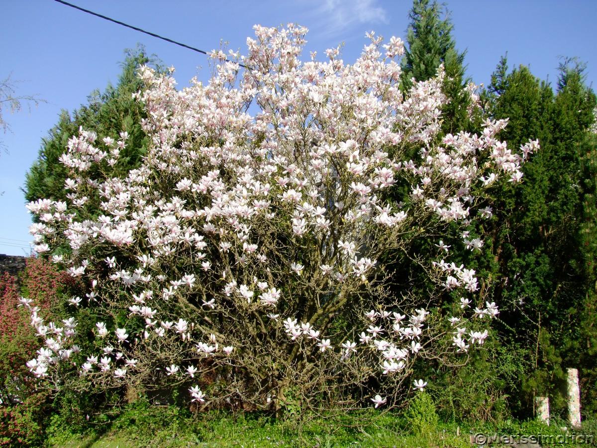 Magnolienbaum im Garten