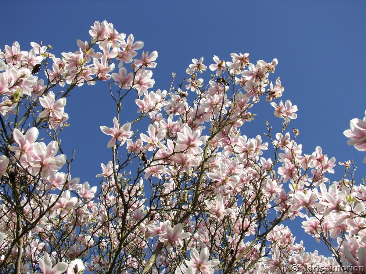 Magnolienbaum im April