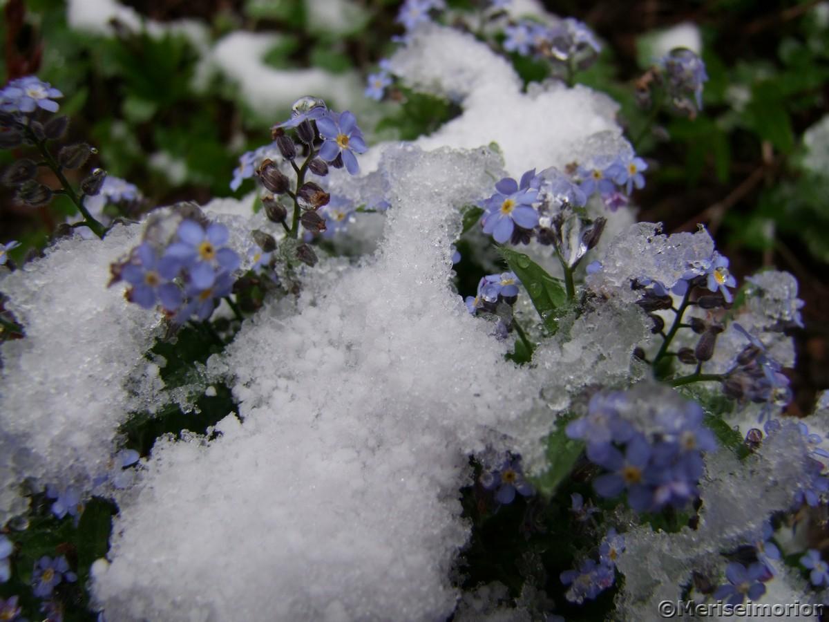 Vergissmeinnicht im Schnee