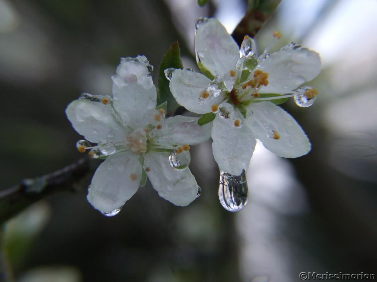 Pflaumenblüte vereist