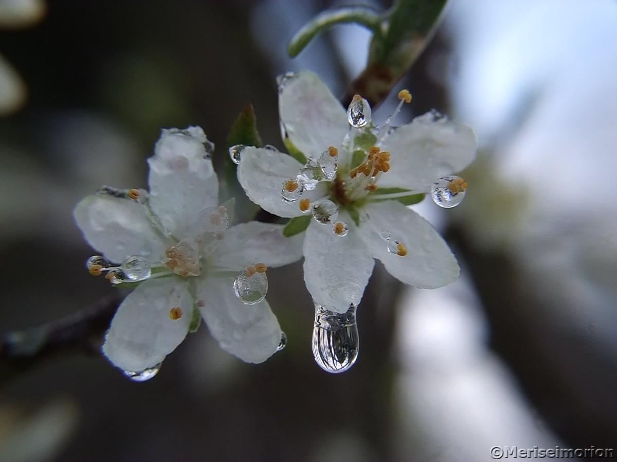 Pflaumen Blüten