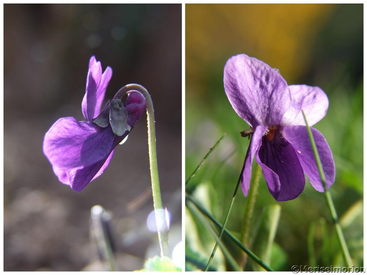 Veilchen blühen