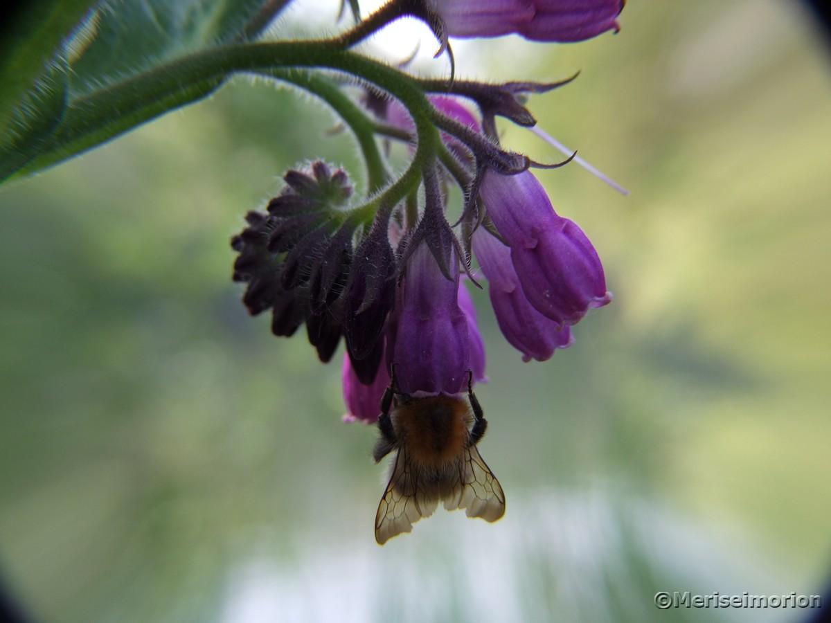 Beinwell Blüte mit Biene