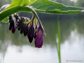 Beinwell Heilpflanze