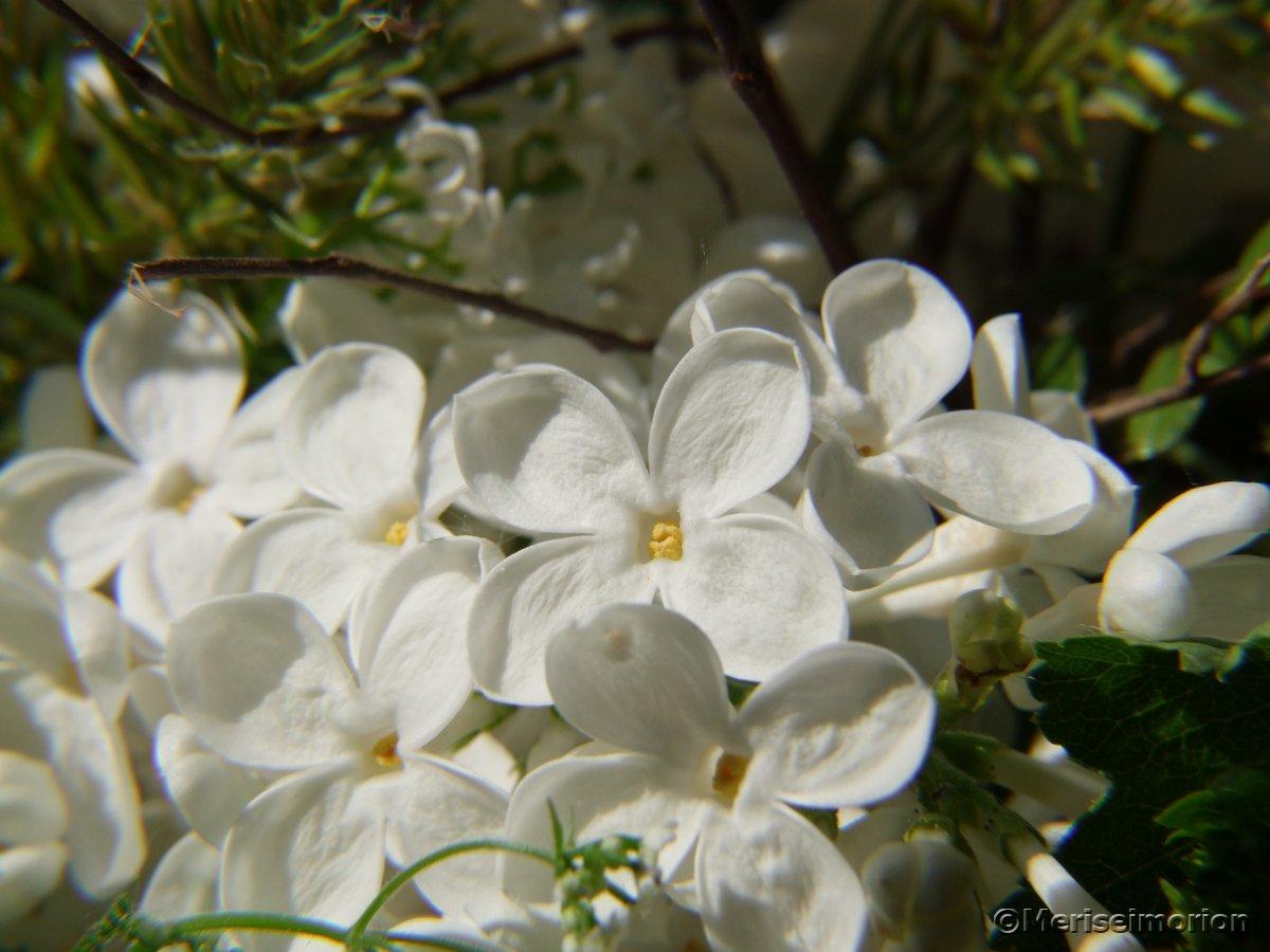 Weißer Flieder Garten