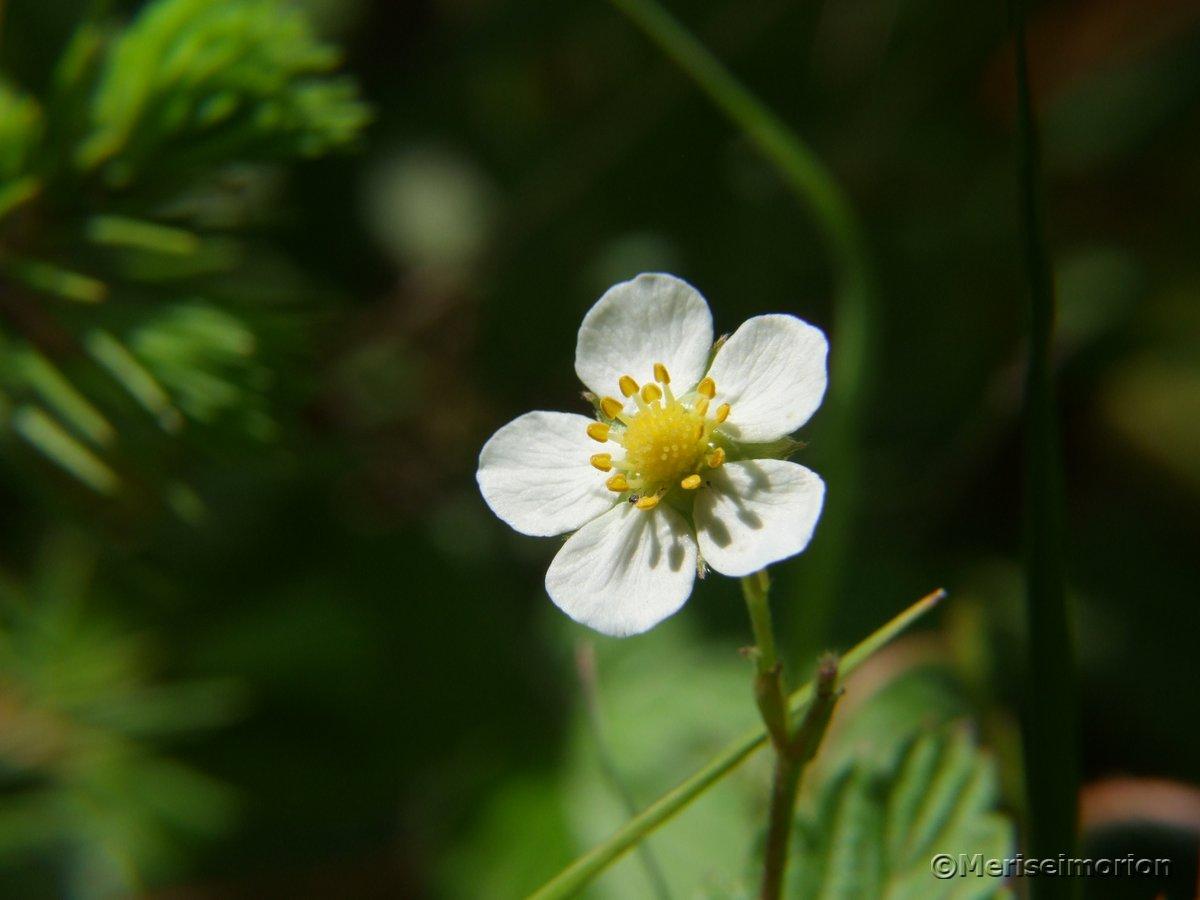Walderdbeere Blüte
