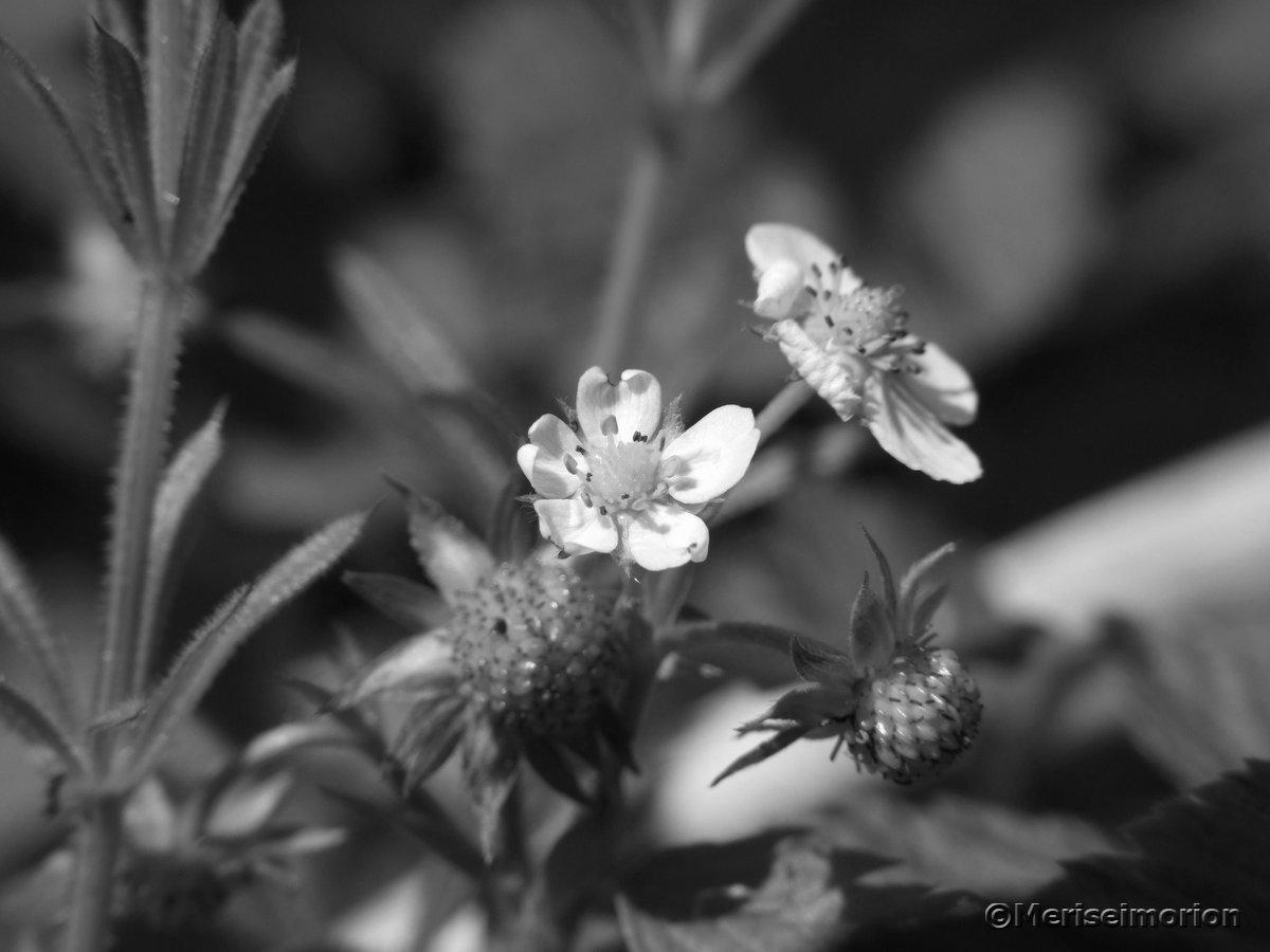 Walderdbeeren Früchte und Blüte