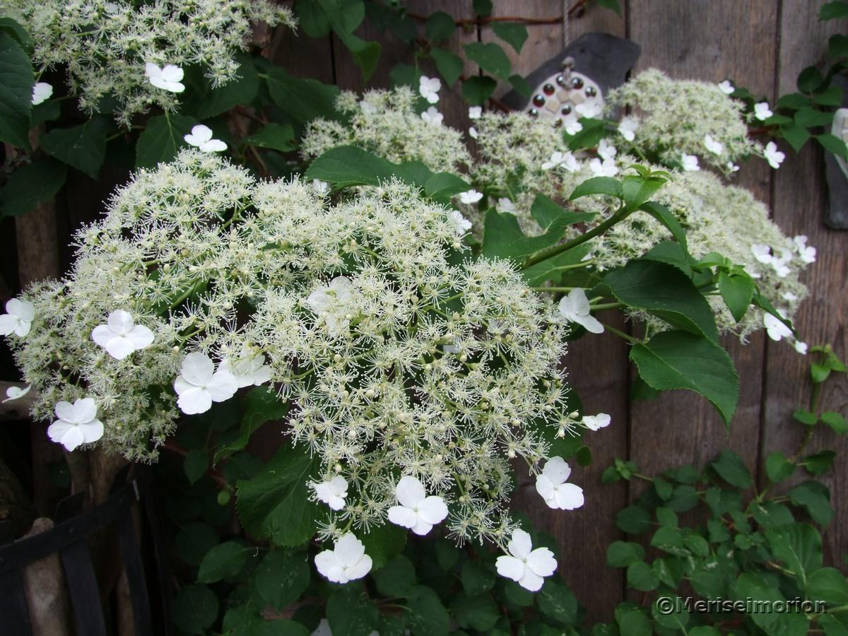 Kletterhortensien Blüten