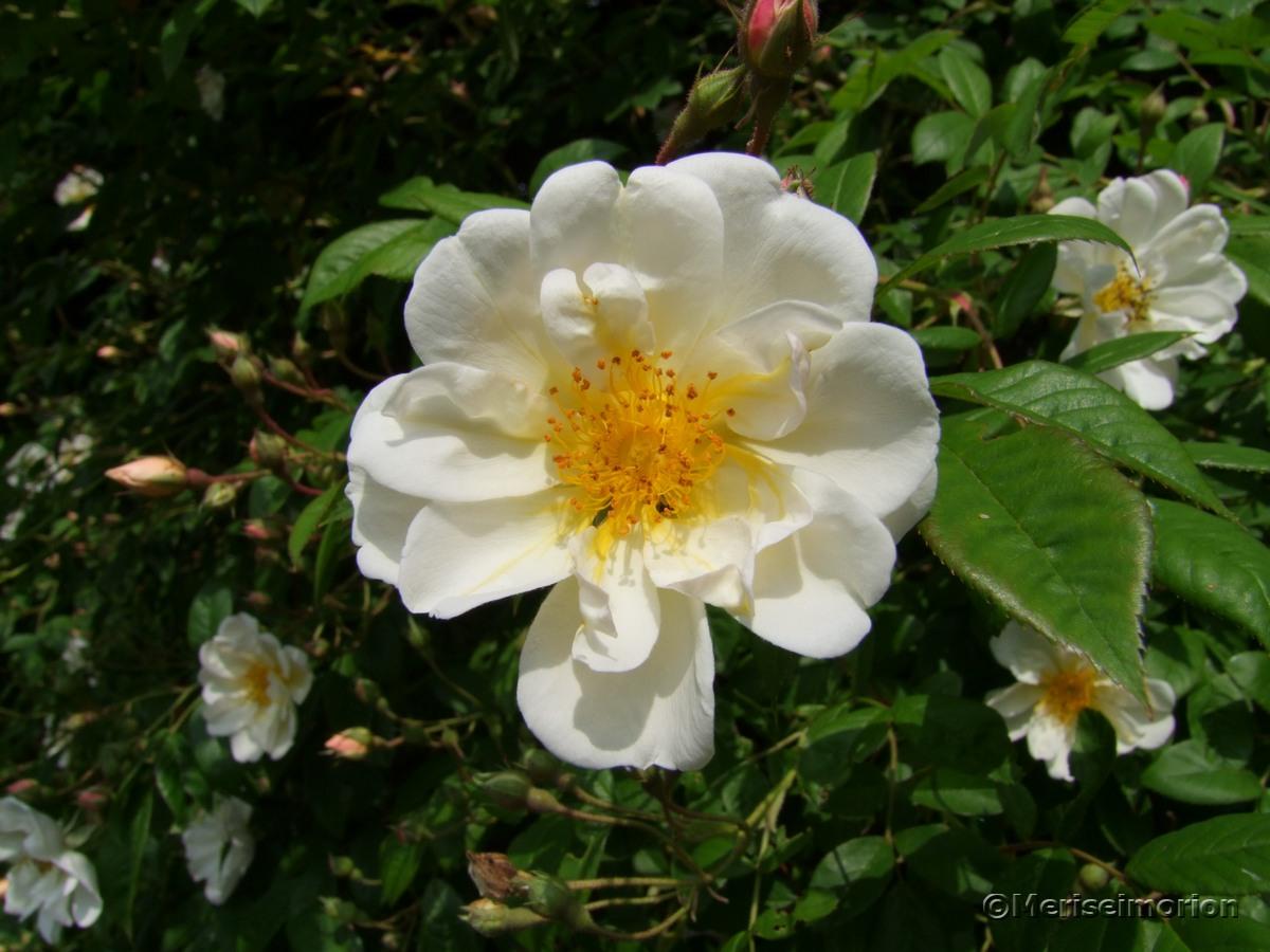 Lykkefund Rosenblüte