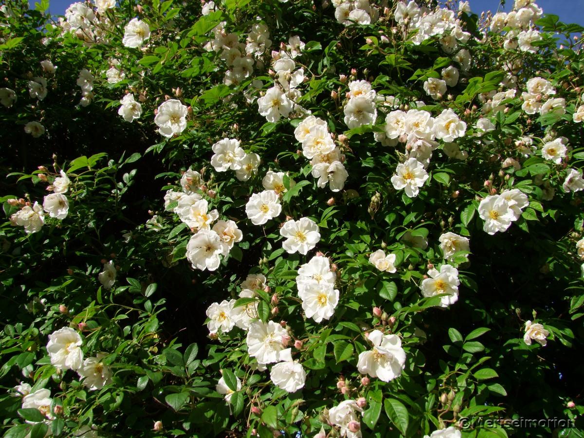 pflegeleichte Ramblerrose