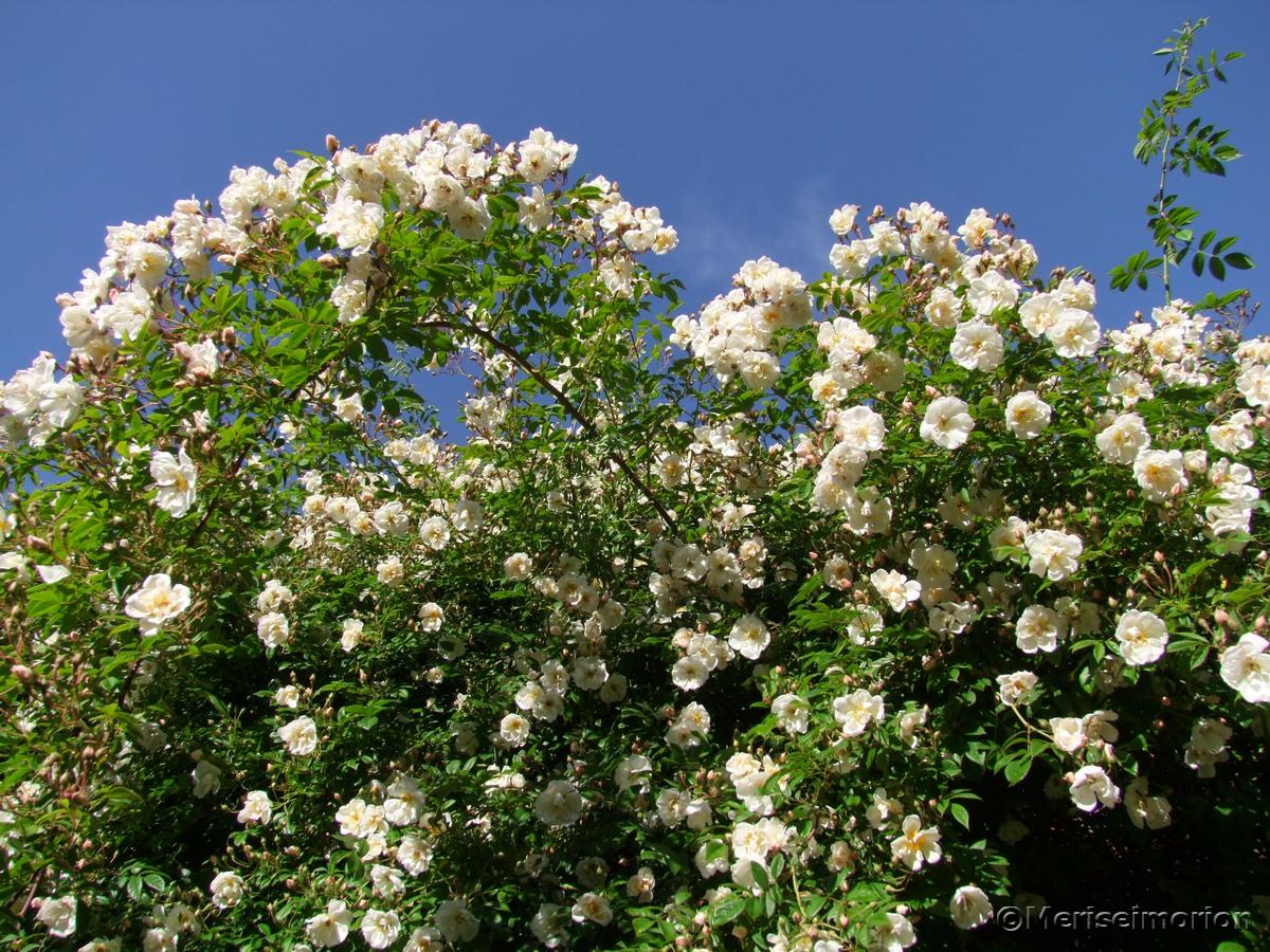 Ramblerrose Blüten