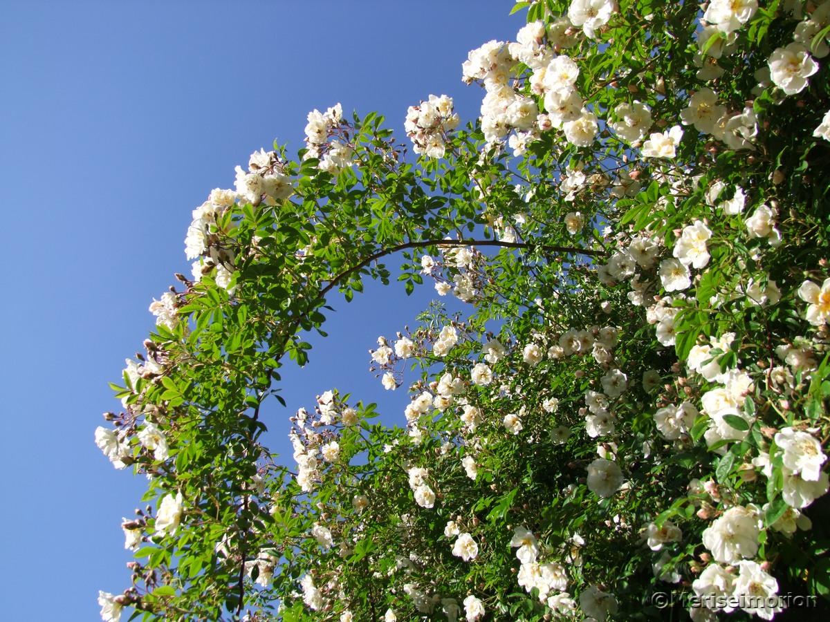 Ramblerrosen im Garten