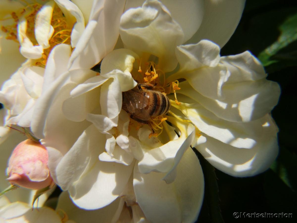 insektenfreundliche Ramblerrose