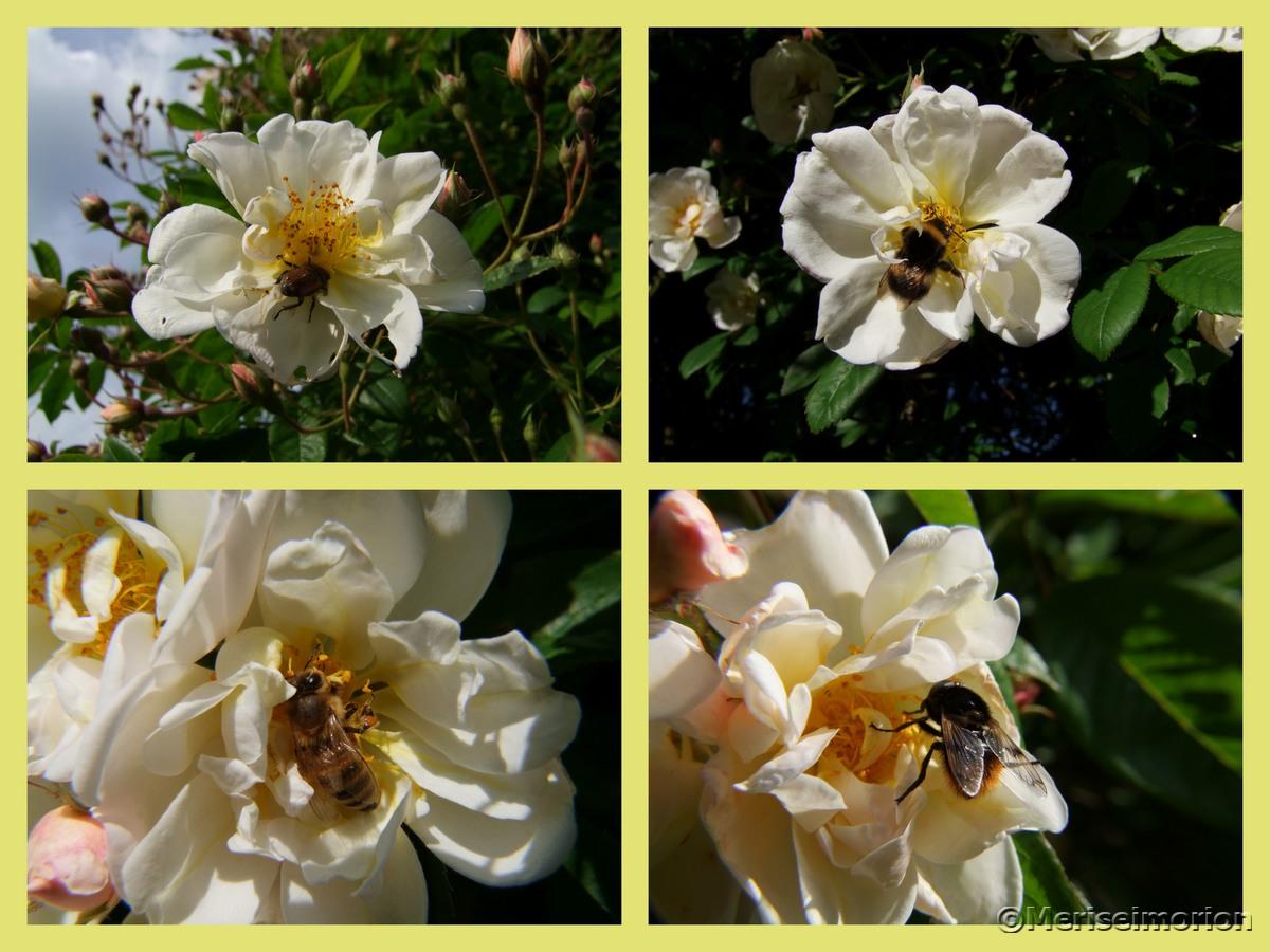 Bienenfreundliche Ramblerrose