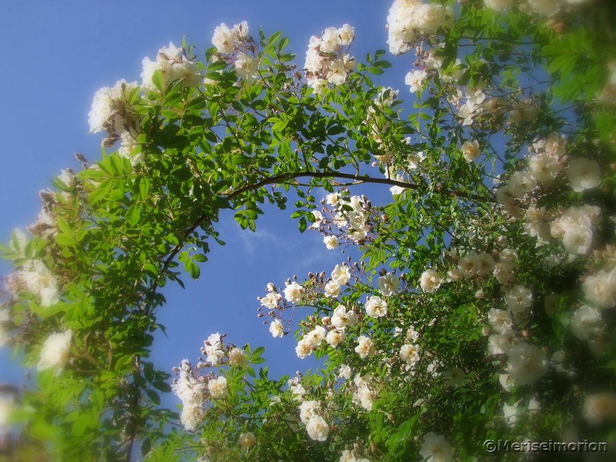romantische Ramblerrose