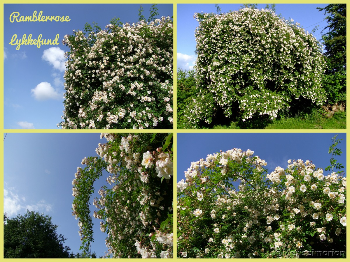 Ramblerrose Lykkefund Blüte