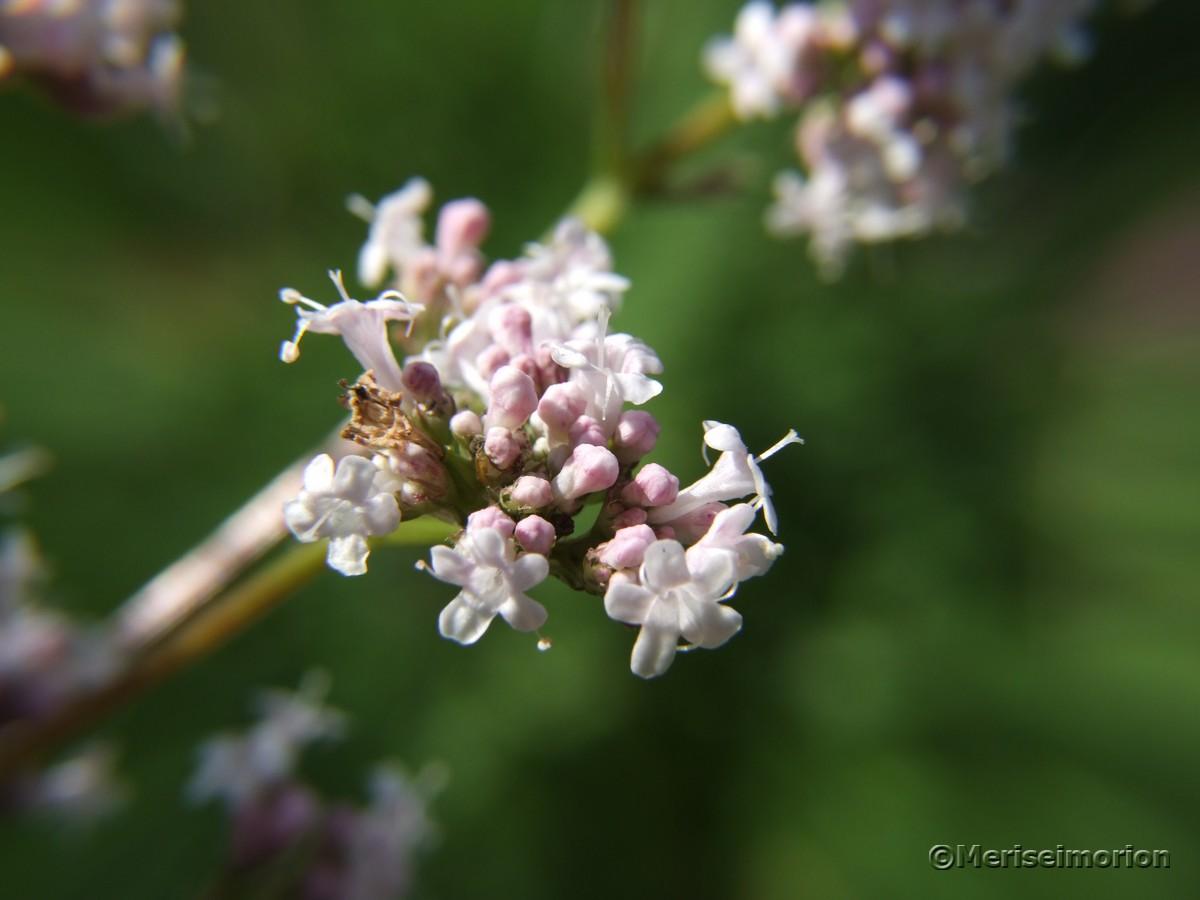 Bladrianblüten