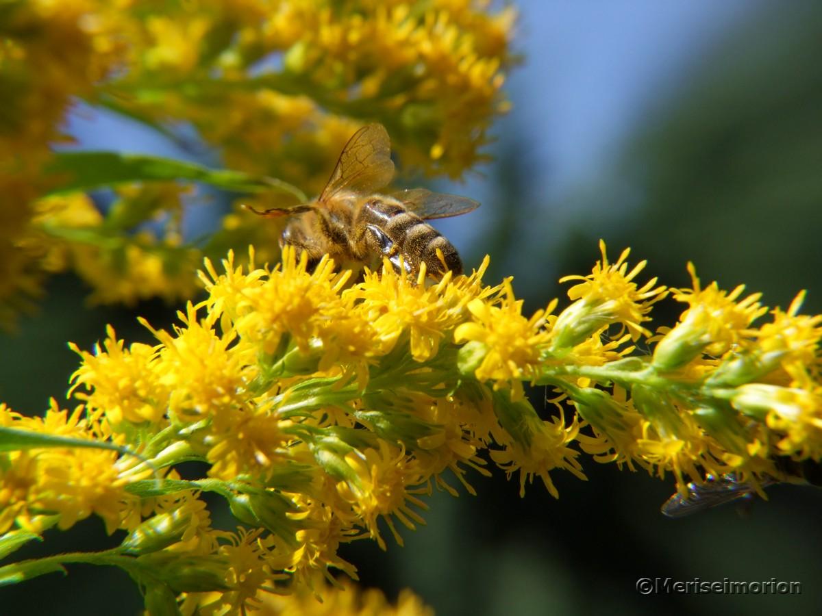 Goldrute insektenfreundlich