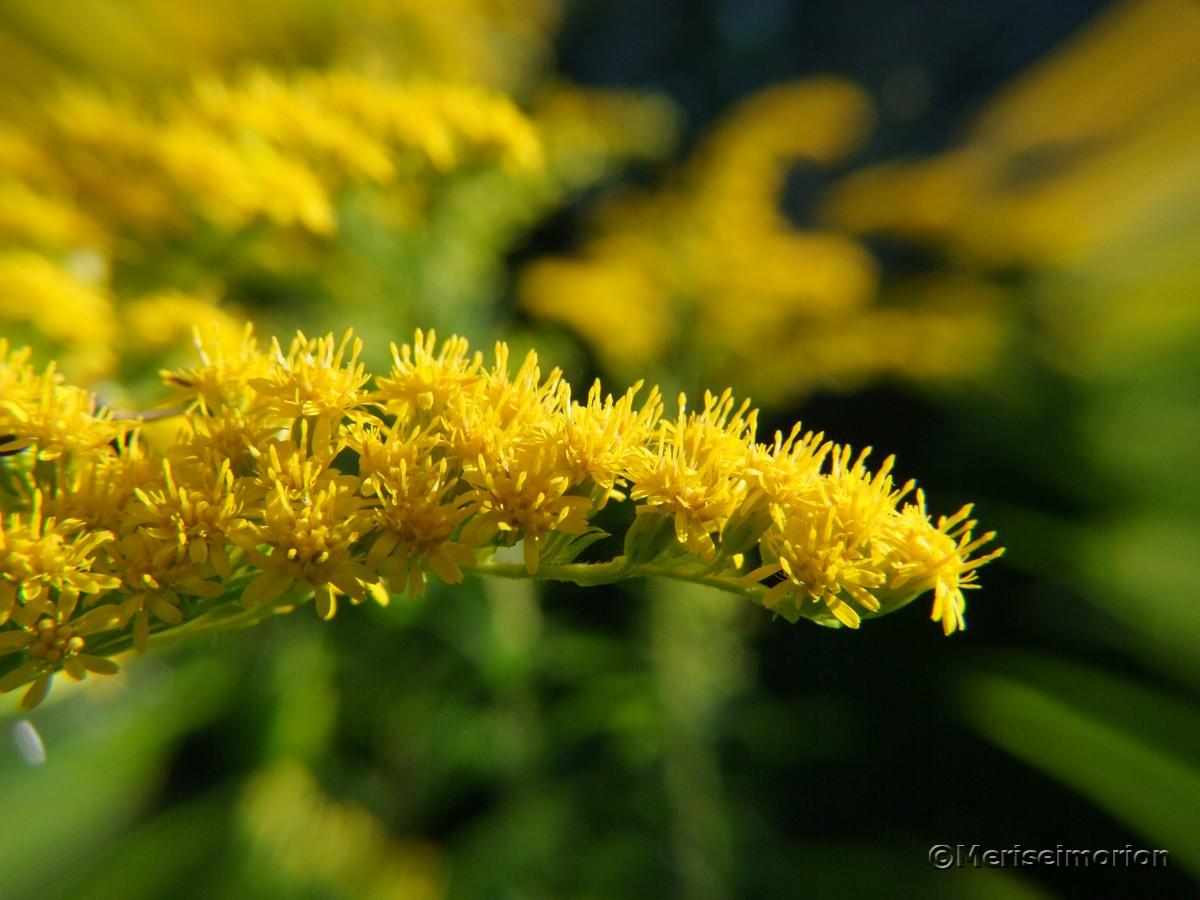 Goldrute im Garten